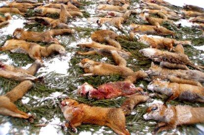 Tote Füchse
