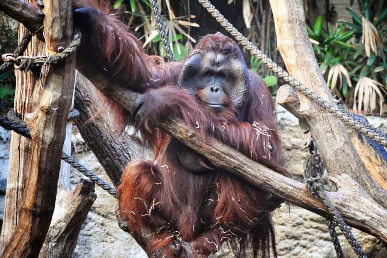 Orang-Utan Pongo tot – hat der Zoo Münster ihn krank gemacht?
