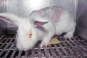 Kaninchen aus Tierversuchen