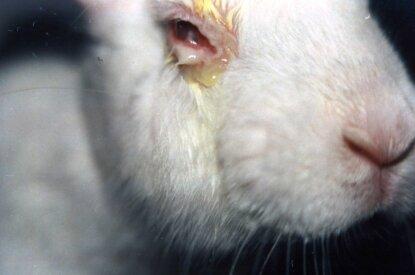 Hase mit verletztem Auge aus Tierversuchen