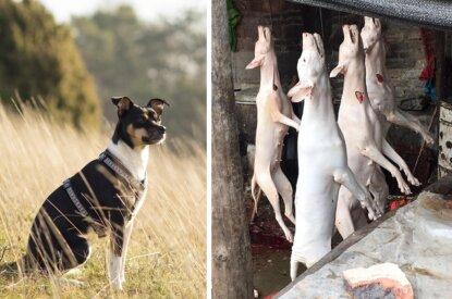 Collage Hund und tote Hunde