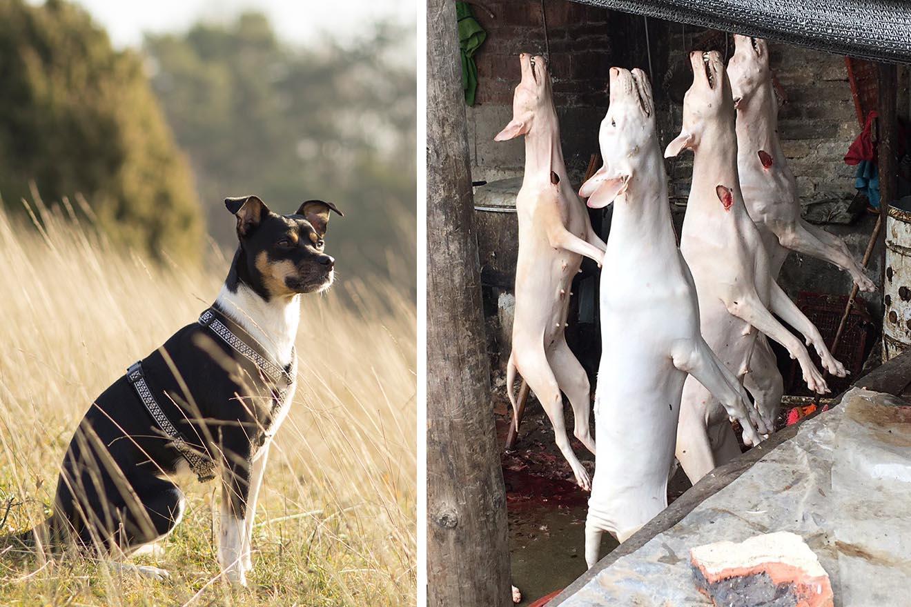 """Erfolg! China erklärt Hunde zu """"Haustieren"""""""