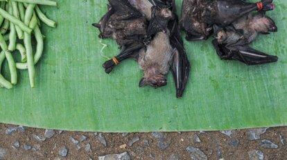 tote Fledermaus zum Verkauf