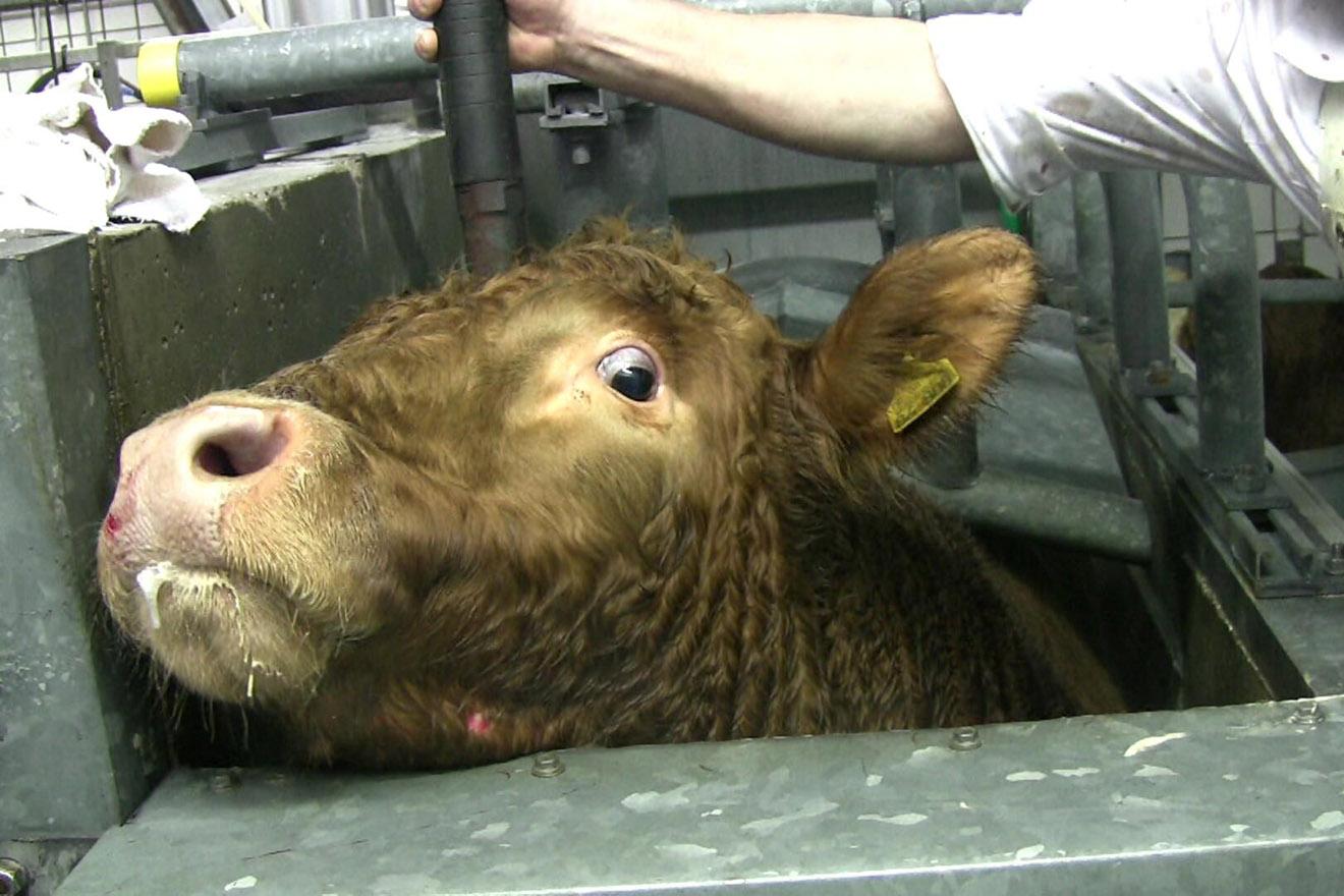 verängstigte Kuh im Schlachthaus