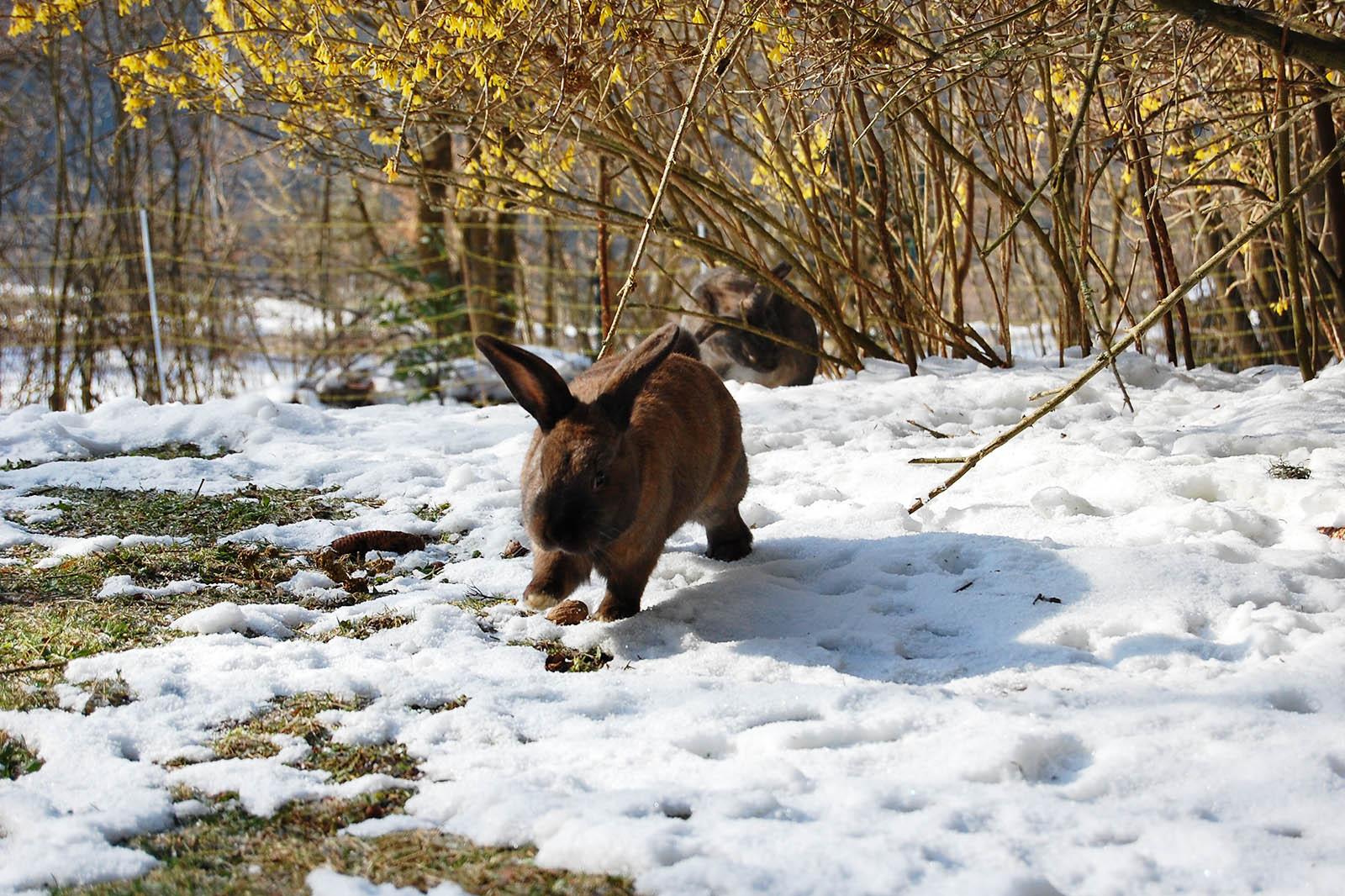 Kaninchen lauft im Schnee