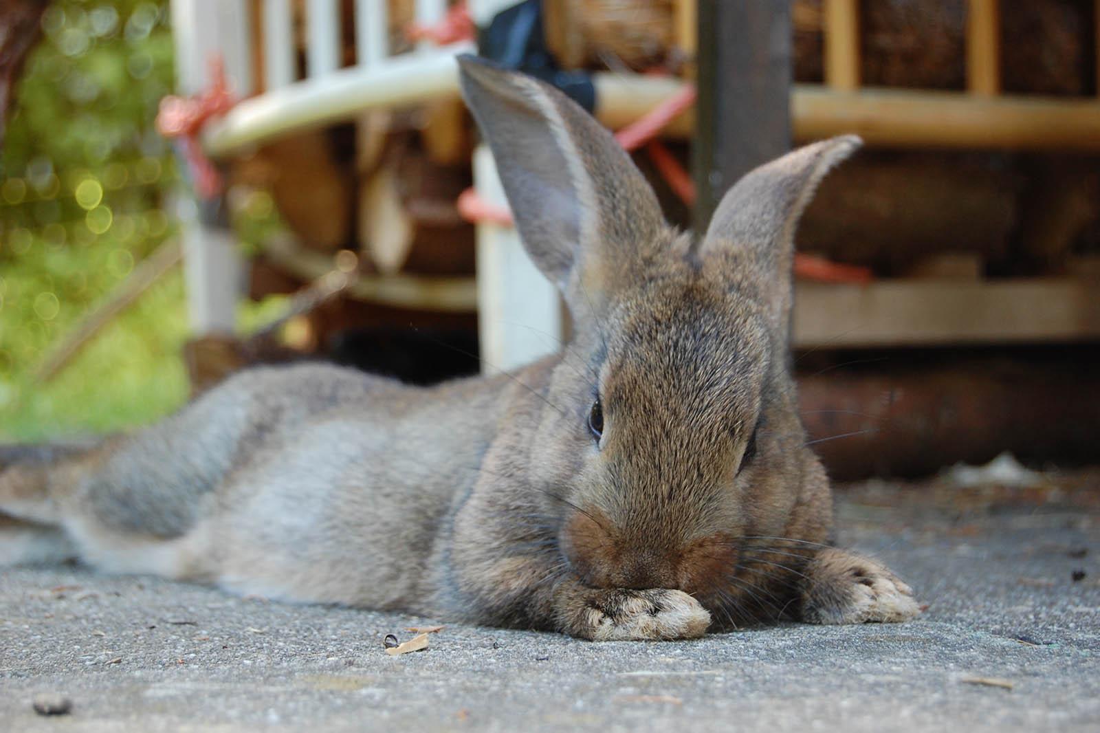 Kaninchen liegt auf dem Boden