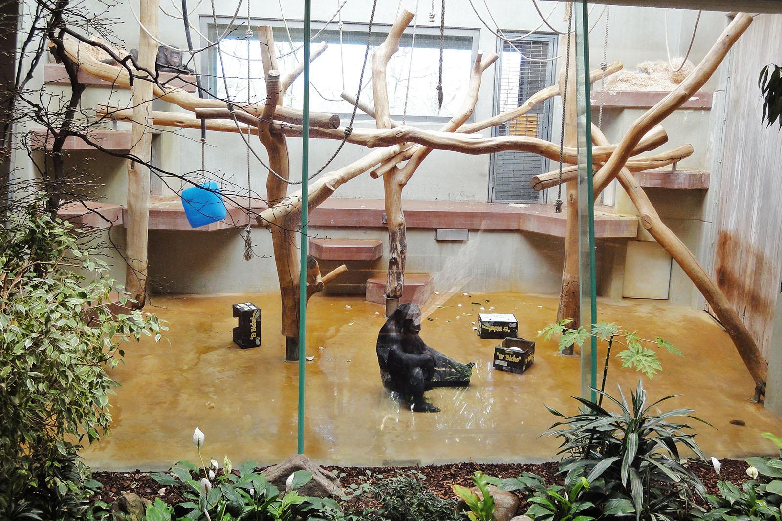Schimpansen Epulu & Kitoto – ein trauriges Leben im Wuppertaler Zoo