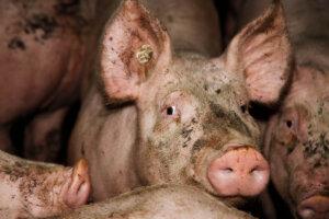 Schwein aus der Schweinemast