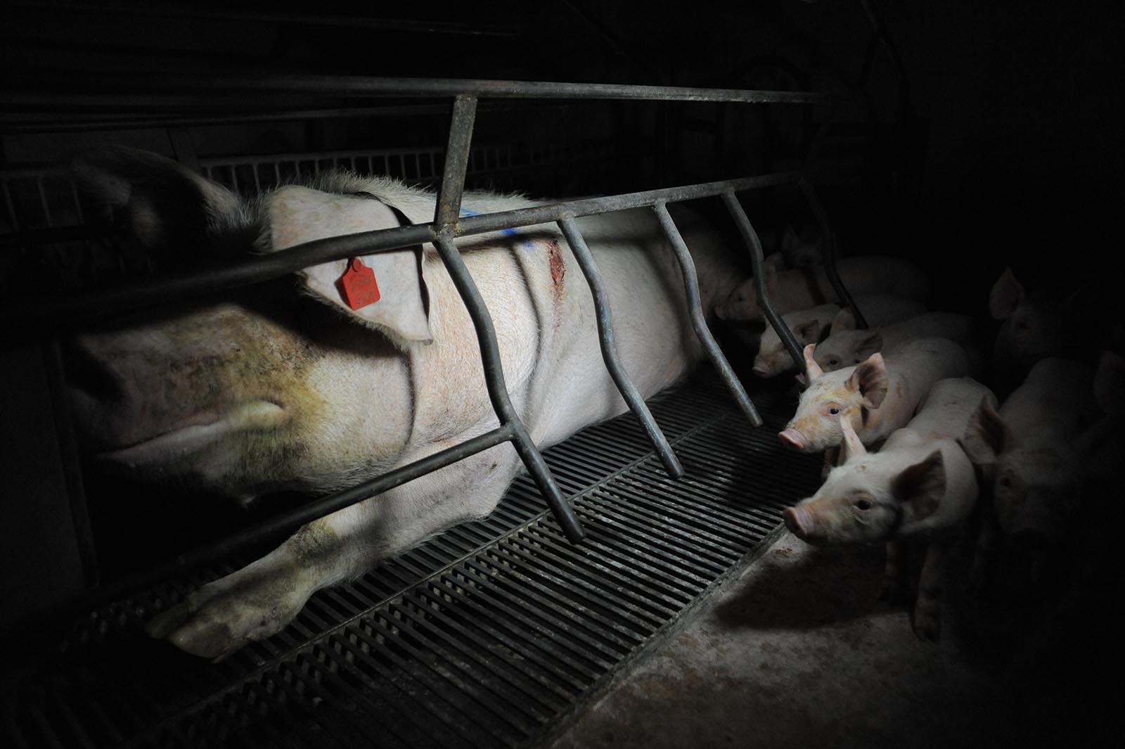 Zukunftskommission Landwirtschaft: Keine Besserung für Tiere