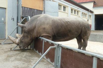 Nashorn vom Circus Krone