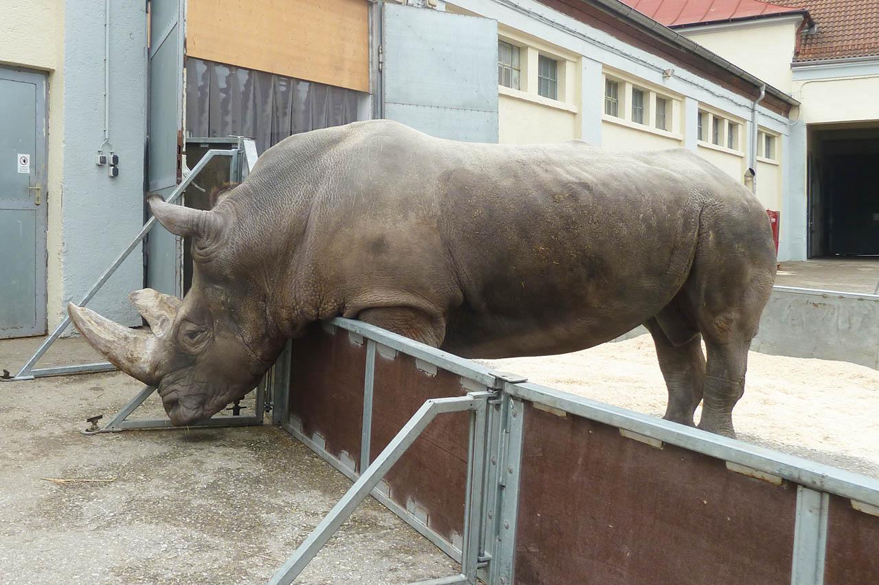 Circus Krone: Einsamstes Nashorn der Welt gestorben