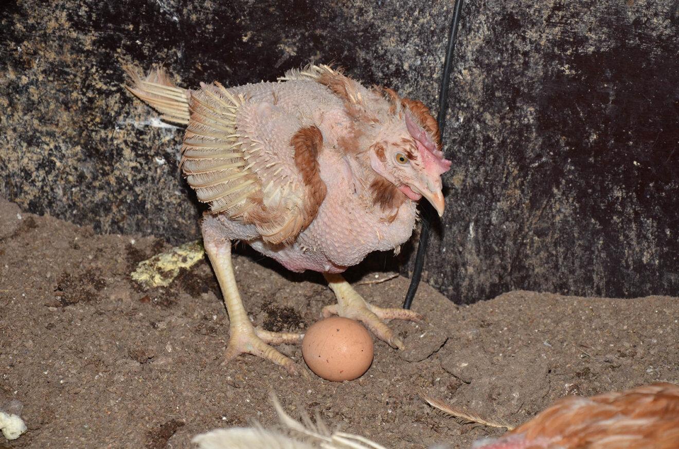 Zerrupftes und krankes Huhn einer Biohuehnerfarm
