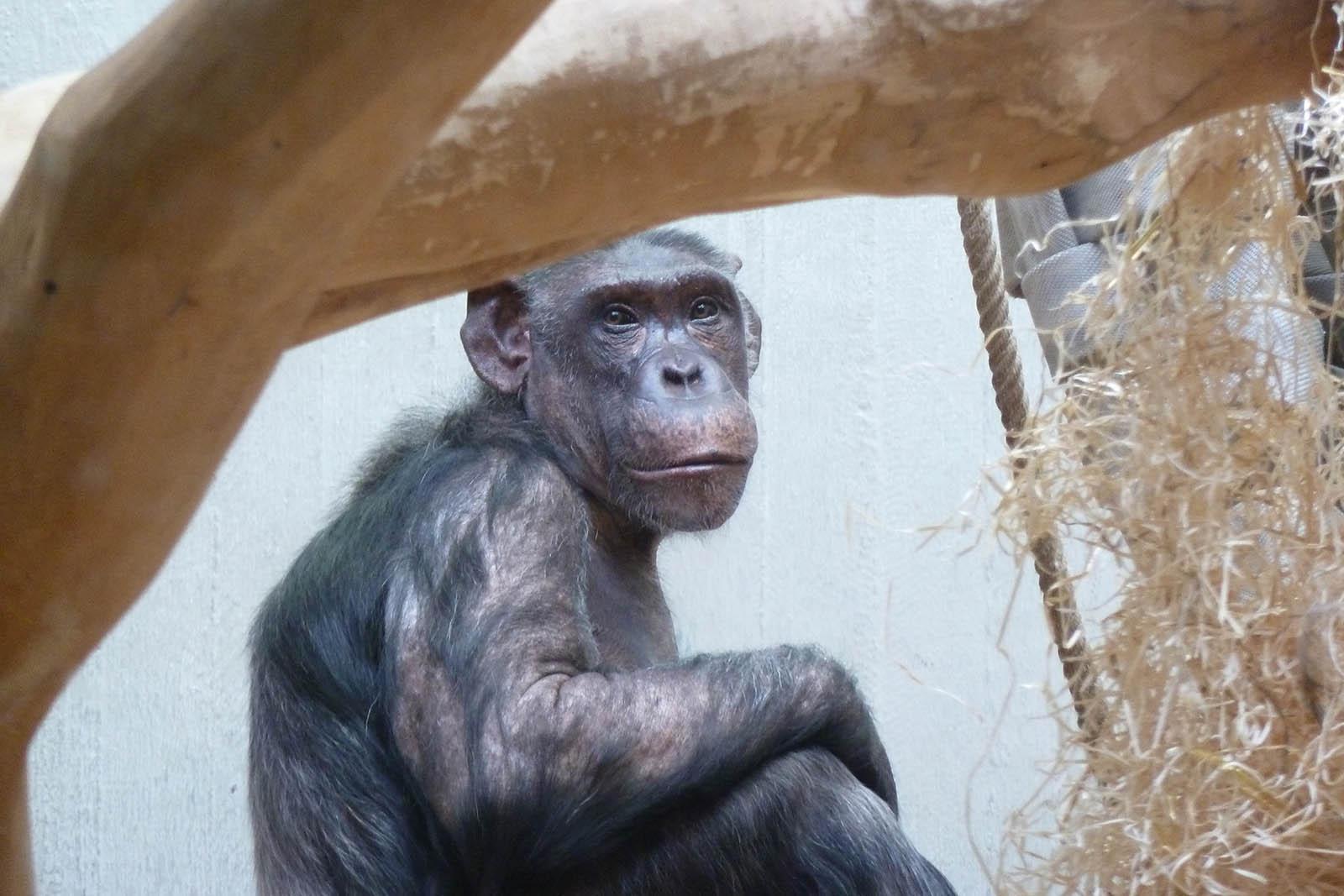 Endlich: Schimpansen Epulu und Kitoto verlassen Wuppertaler Zoo