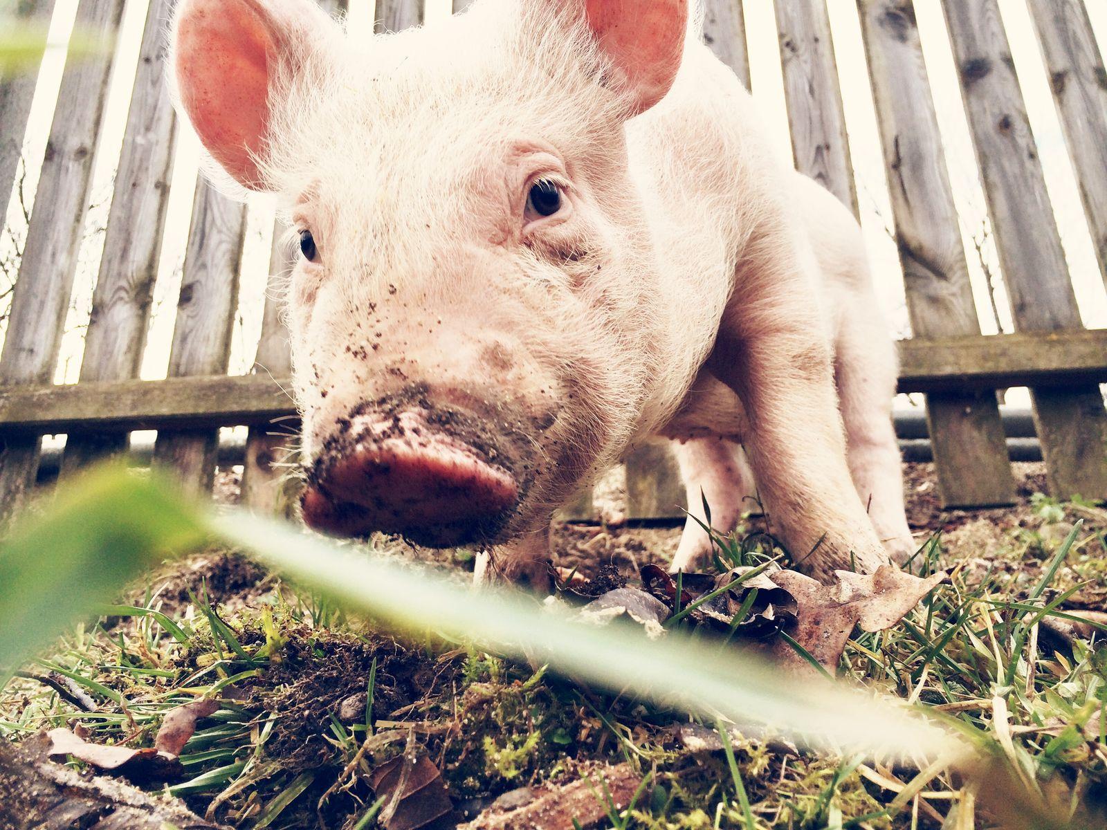 """""""Nutztiere"""" – warum Tiere nicht dazu da sind, dass wir sie nutzen"""