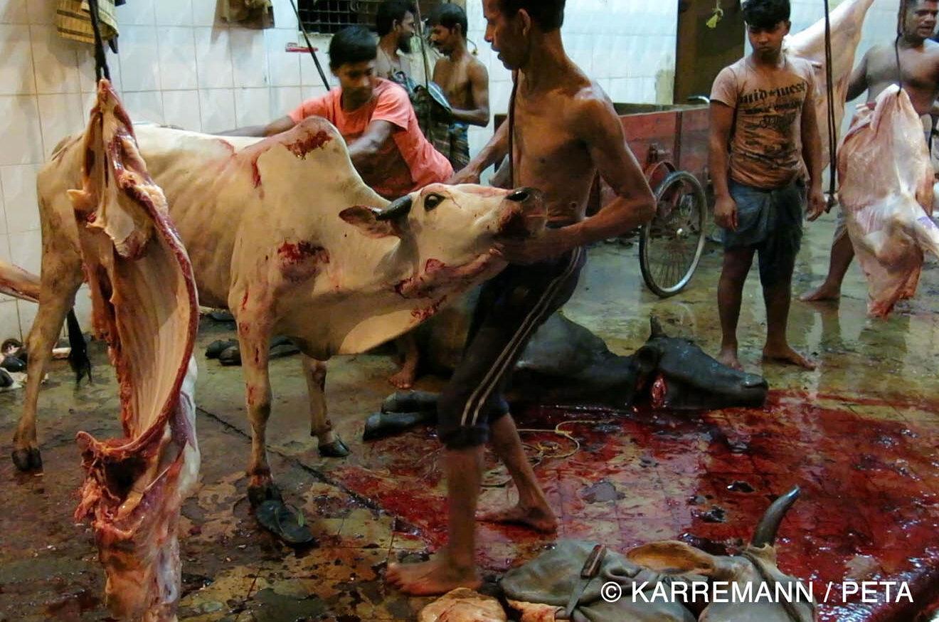 Kuh im Schlachthof