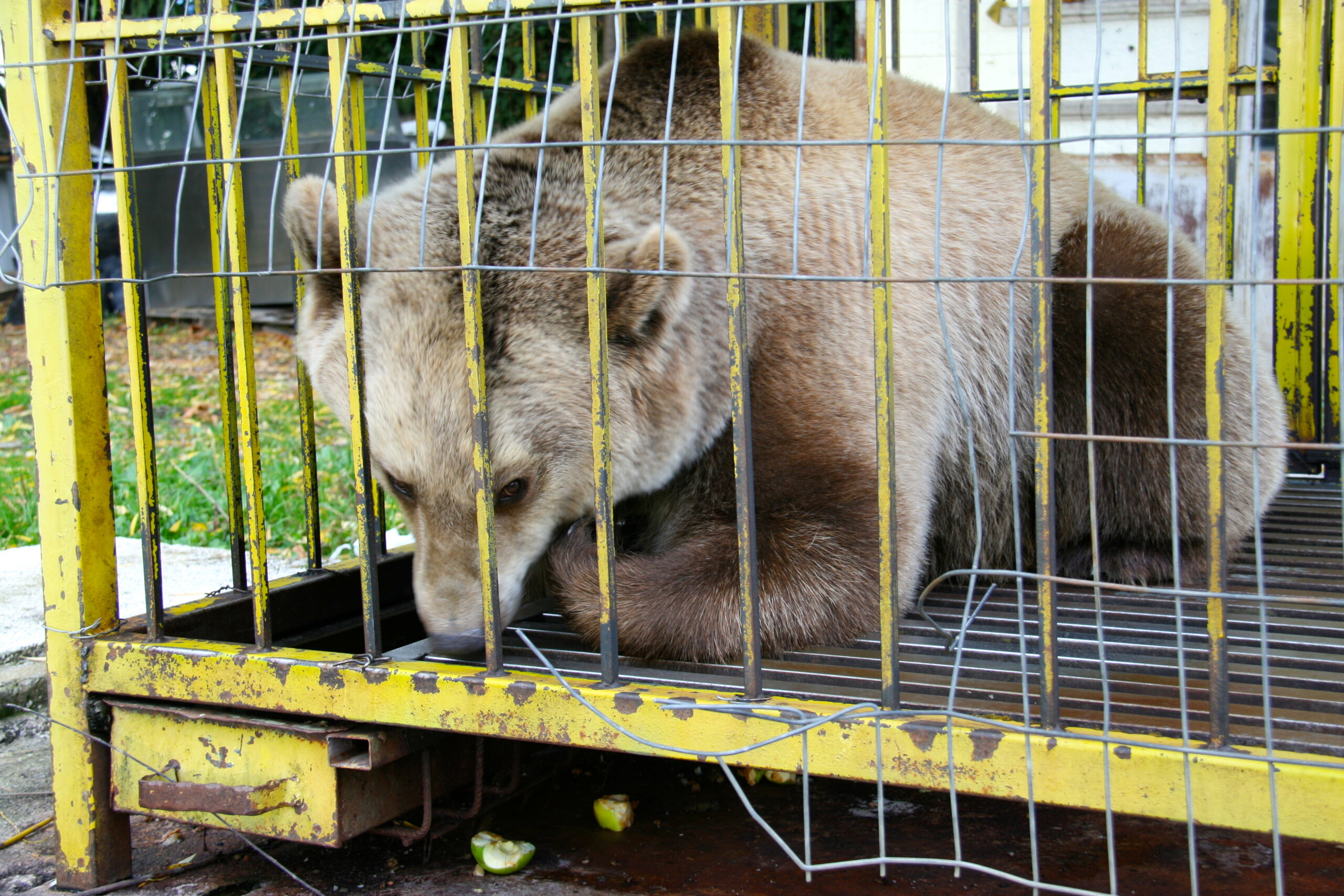 Käfighaltung von Braunbären in Albanien