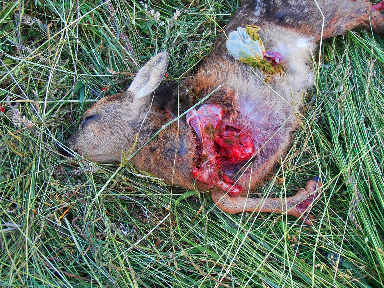 Mähtod: Deshalb sind Mähdrescher eine Gefahr für Rehkitze