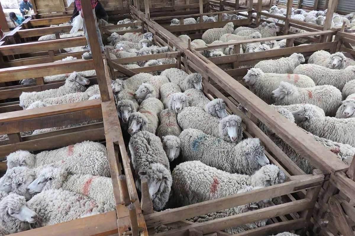 Schafe eingepfercht in enge Ställe auf einer Farm