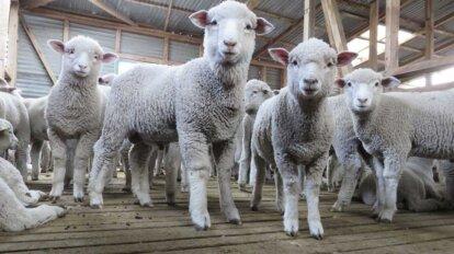 Schafe in der Wollindustrie