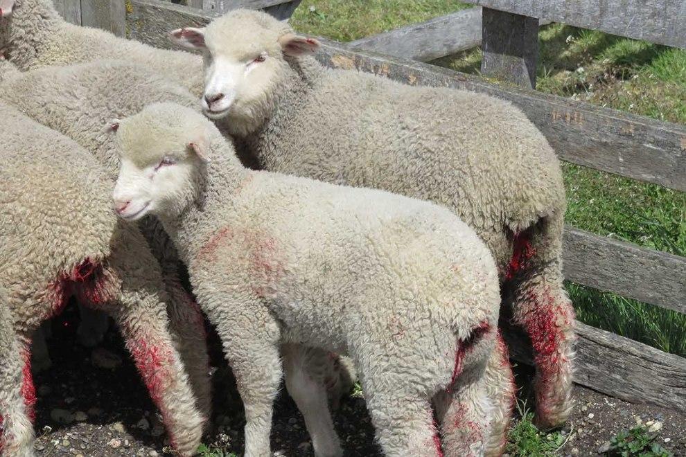 Schafe und Lämmer mit blutigen Schwänzen