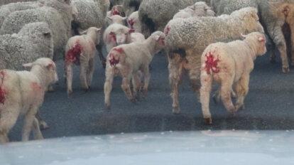 Schafe mit blutigen Hinterleiben vom Mulesing