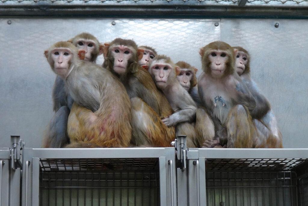 Affen aus Tierversuchslabor