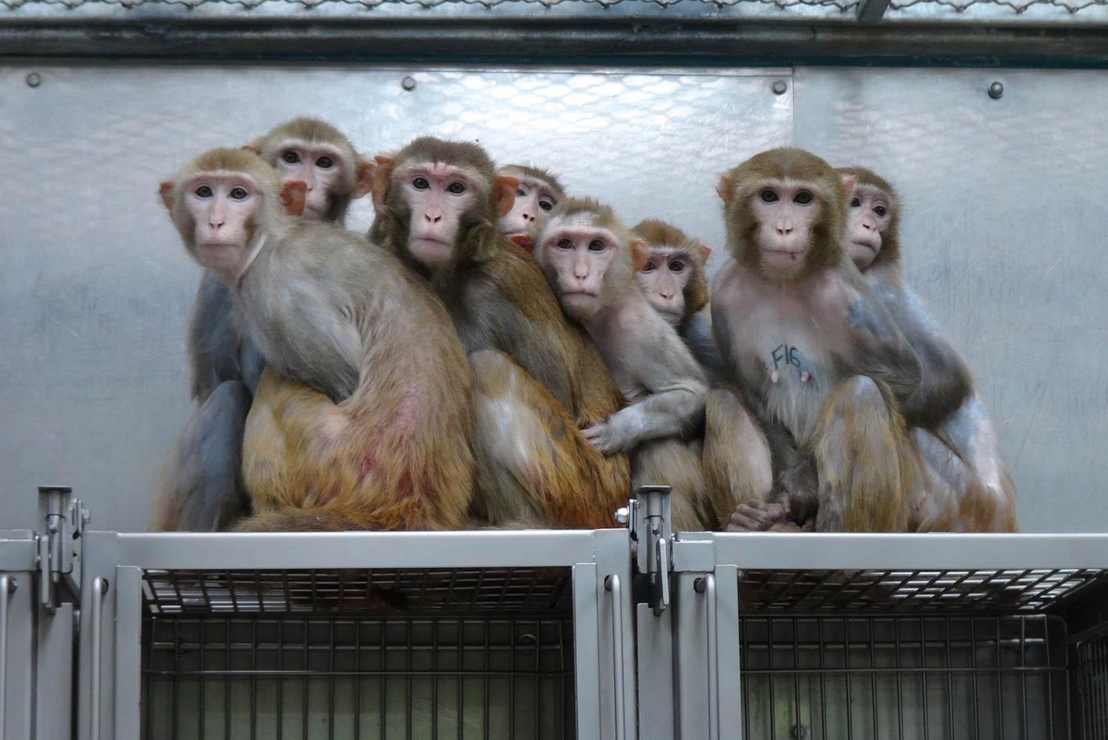 Malaria, Tuberkulose, HIV: Diese Affen werden krank gemacht!
