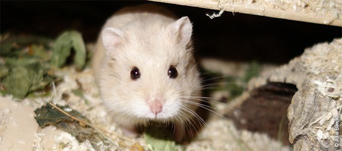 wissenswertes ber hamster. Black Bedroom Furniture Sets. Home Design Ideas