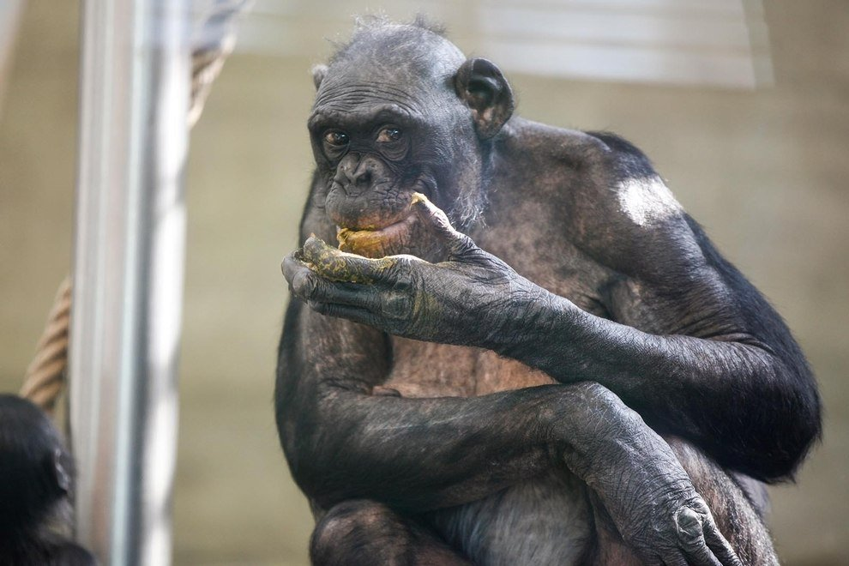 Menschenaffe isst Kot
