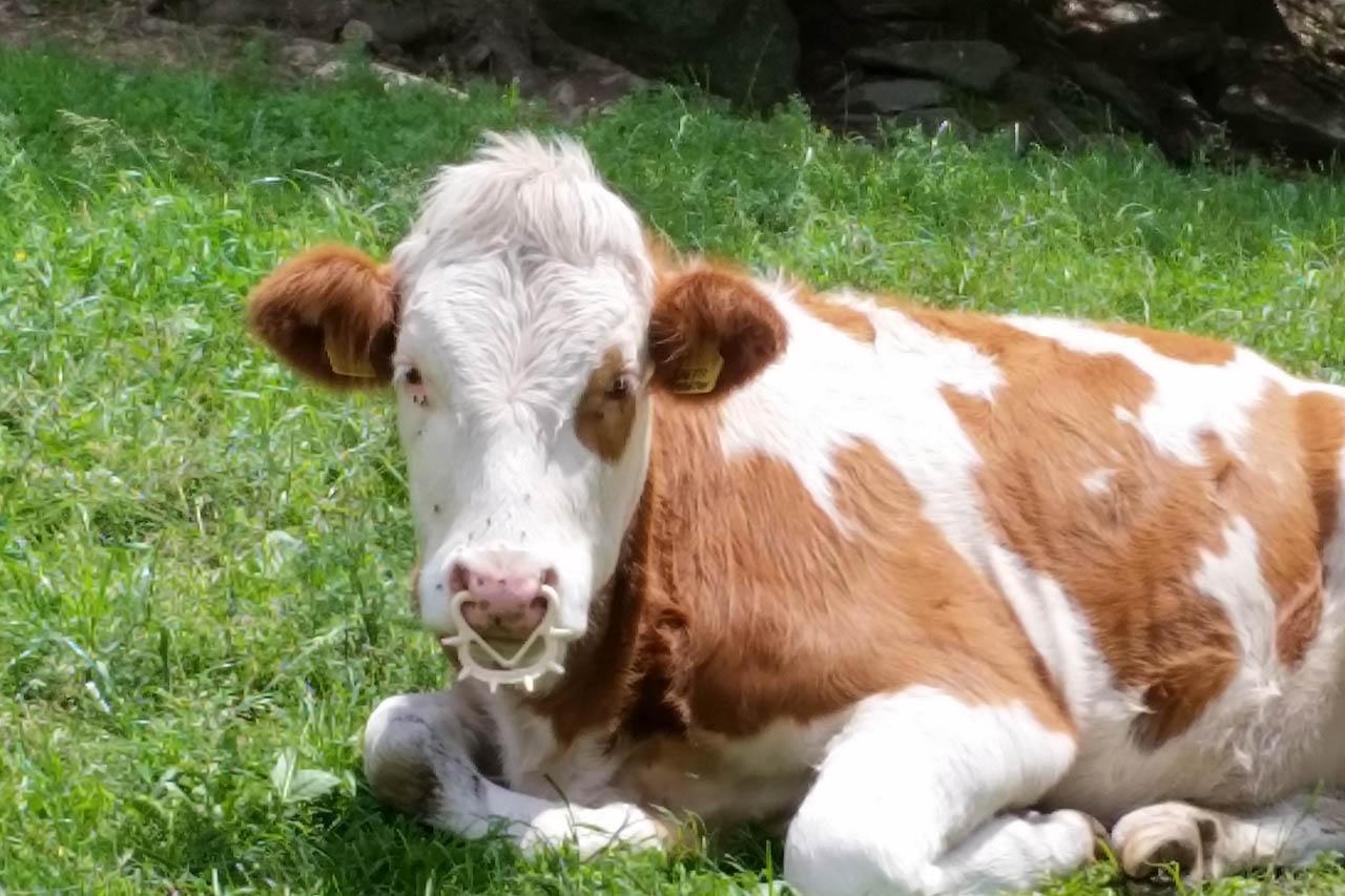 Nasenring bei Rindern: Notwendig oder Tierquälerei?