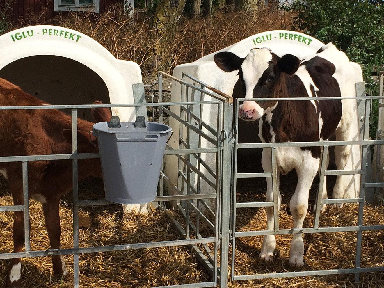 Studie: Sozial gestörte Rinder durch Trennung von Kuh und Kalb