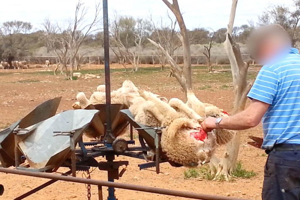 Museling bei Schafen
