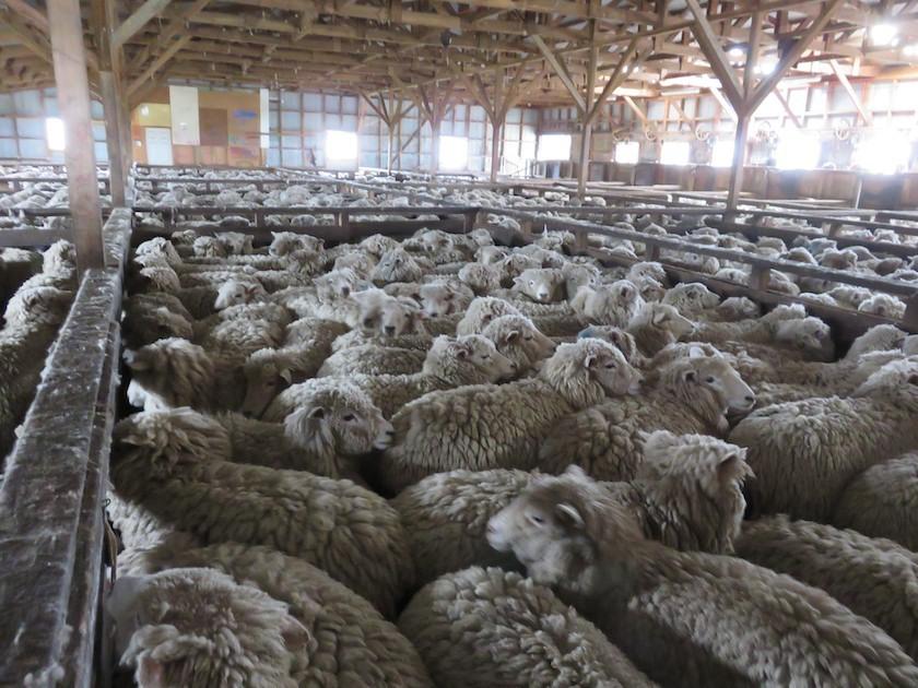 Ein Blick hinter die Kulissen der Wollindustrie