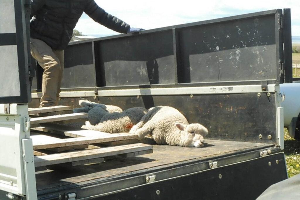 Schaf liegt auf der Ladefläche eines Transporters