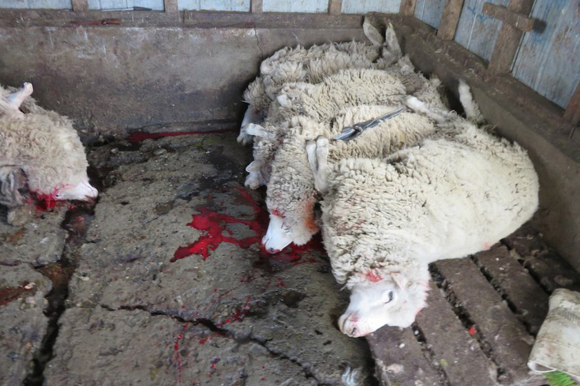 Sterbende Schafe