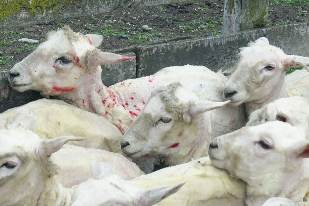 Verletzte Schafe von der Schur
