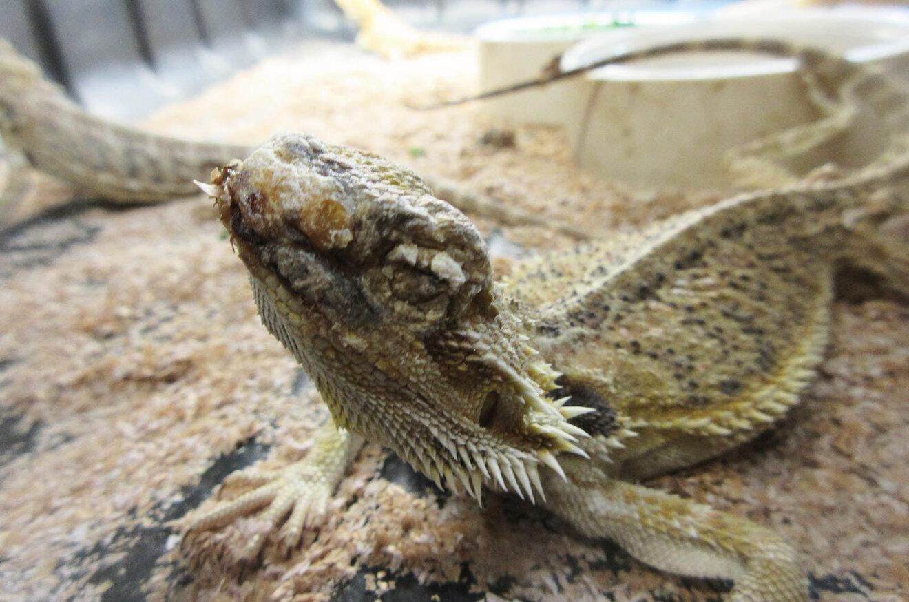 Reptil im Terrarium