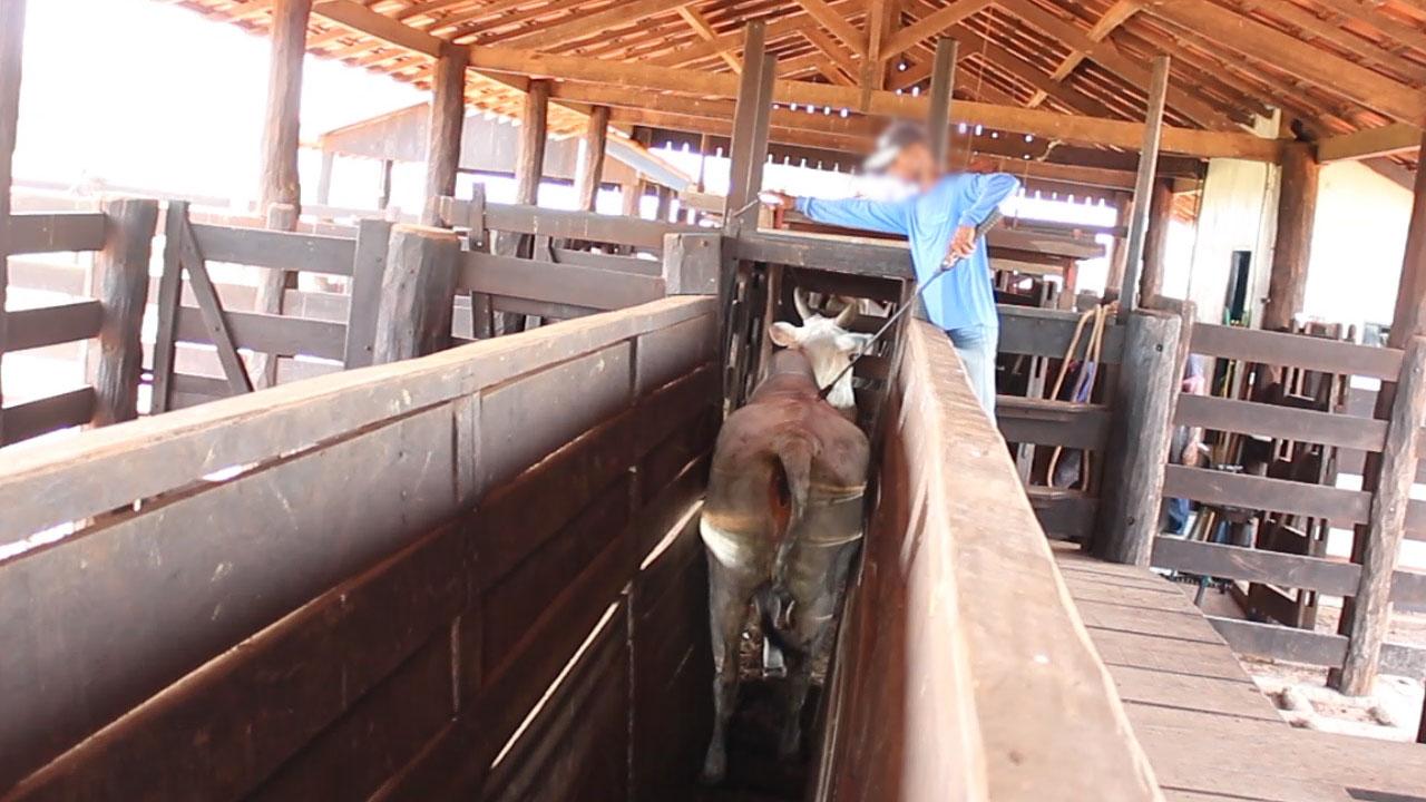 Kalb auf einer Rinderfarm
