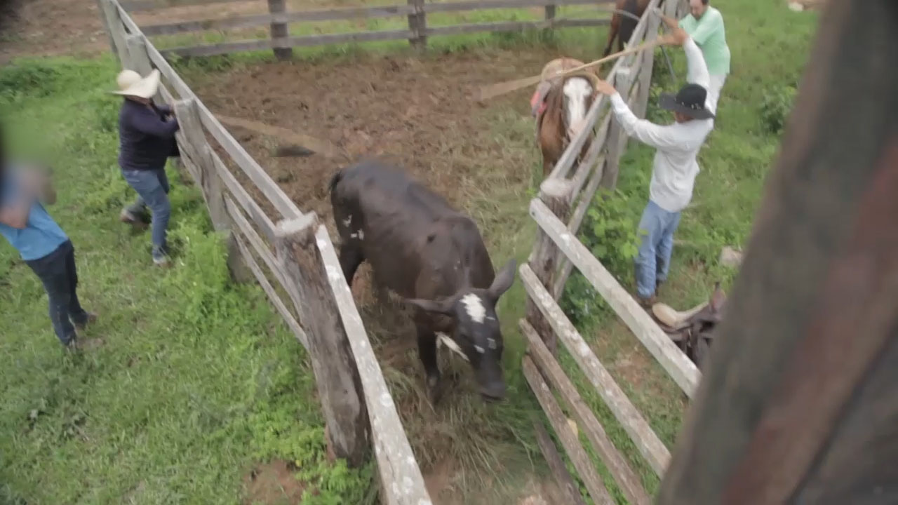 Rind wird durch ein Gatter getrieben