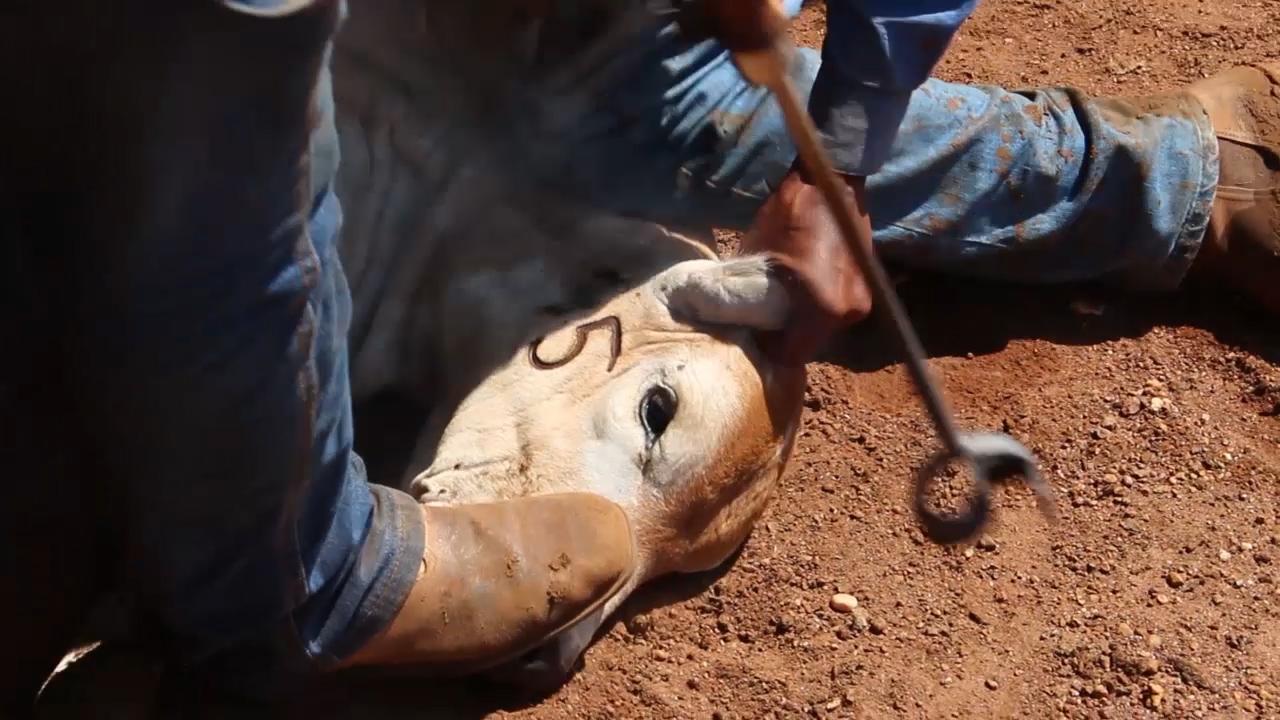 Autoleder: Rinder werden für Leder in Autos gequält