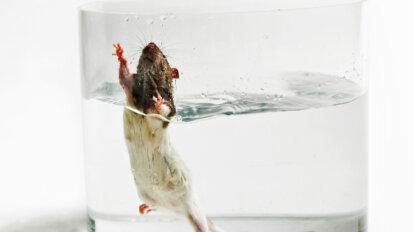 Schwimmtest mit Ratte