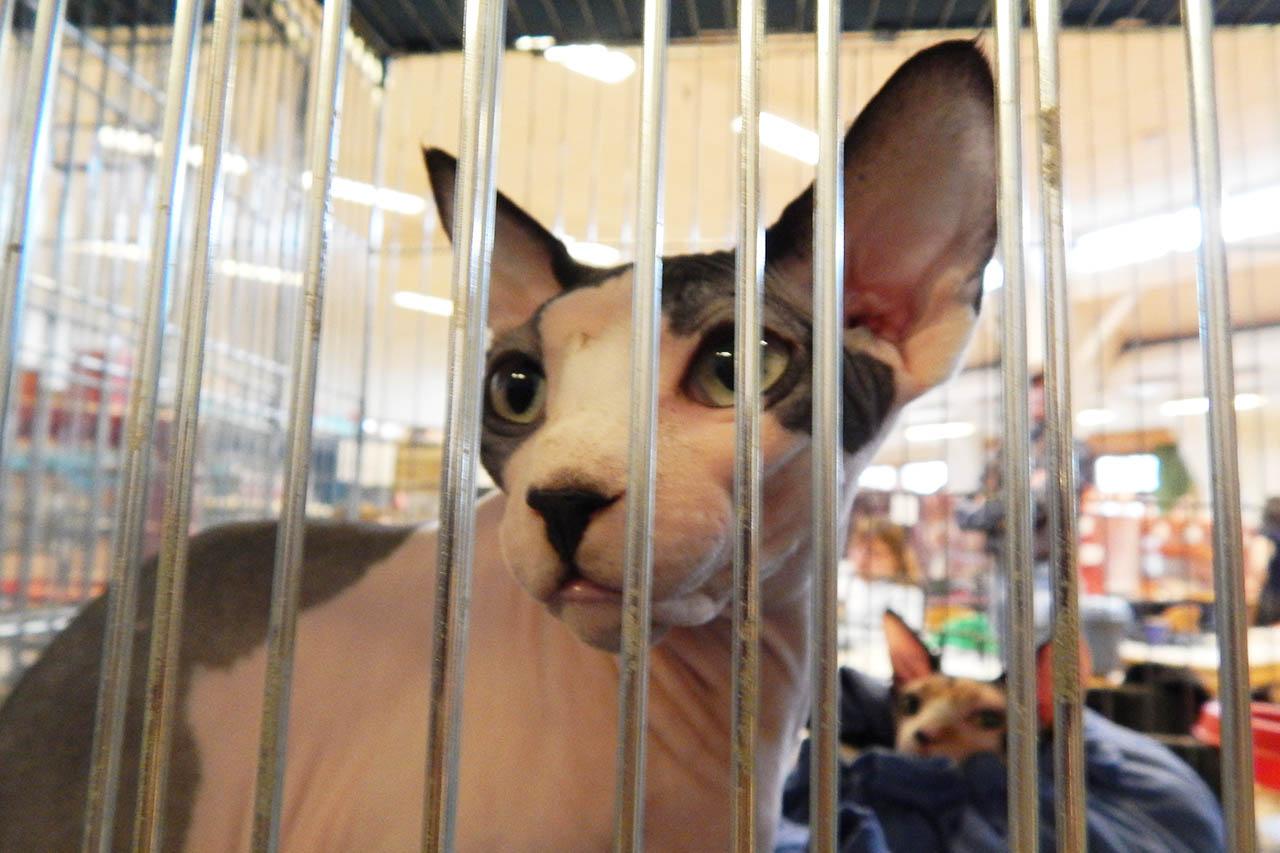 5 Gründe, warum Rassekatzen-Ausstellungen Tierquälerei sind