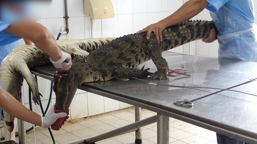 Krokodil wird getoetet