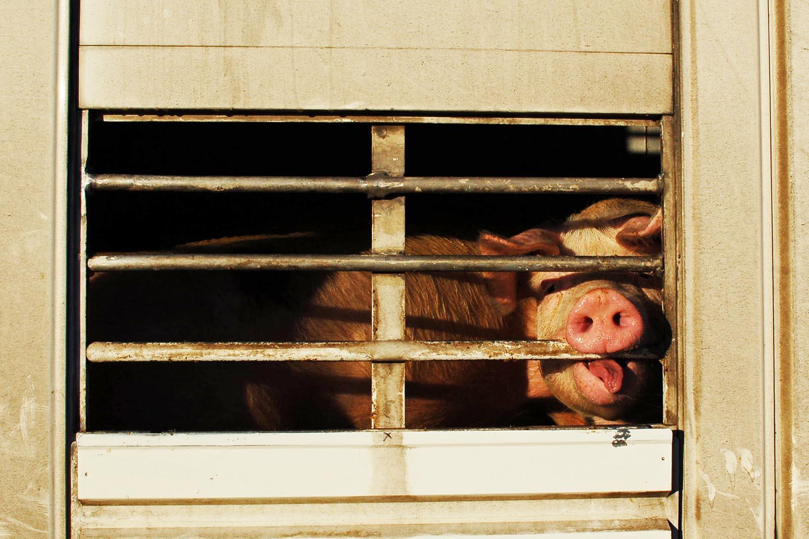 Tiertransporte bei Hitze: Viele Tiere sterben schon während der Fahrt