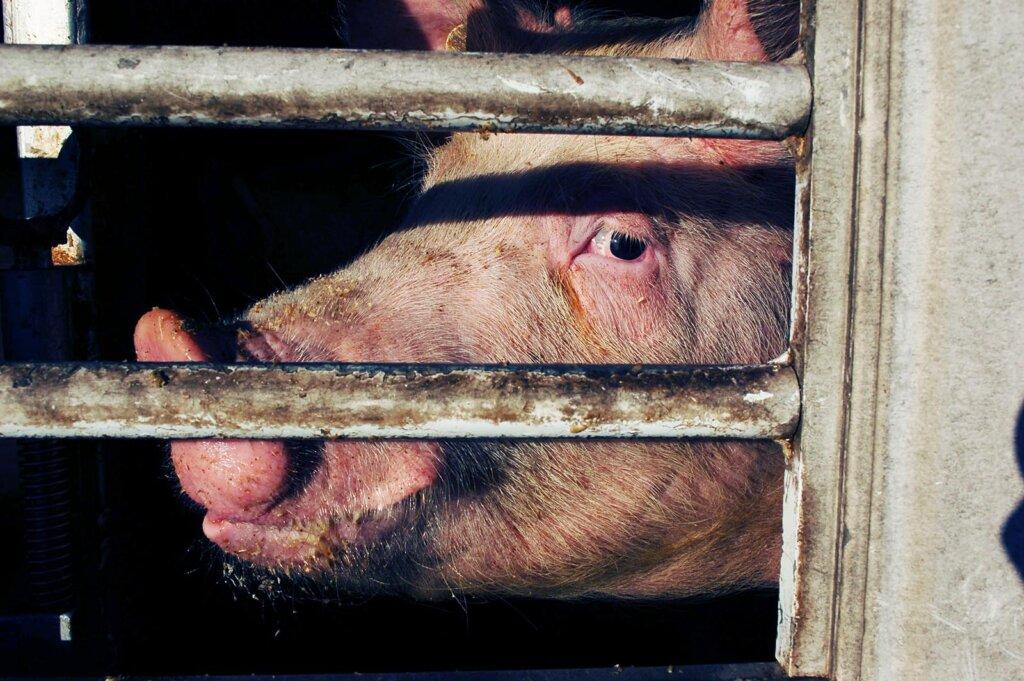 Schwein im Transporter