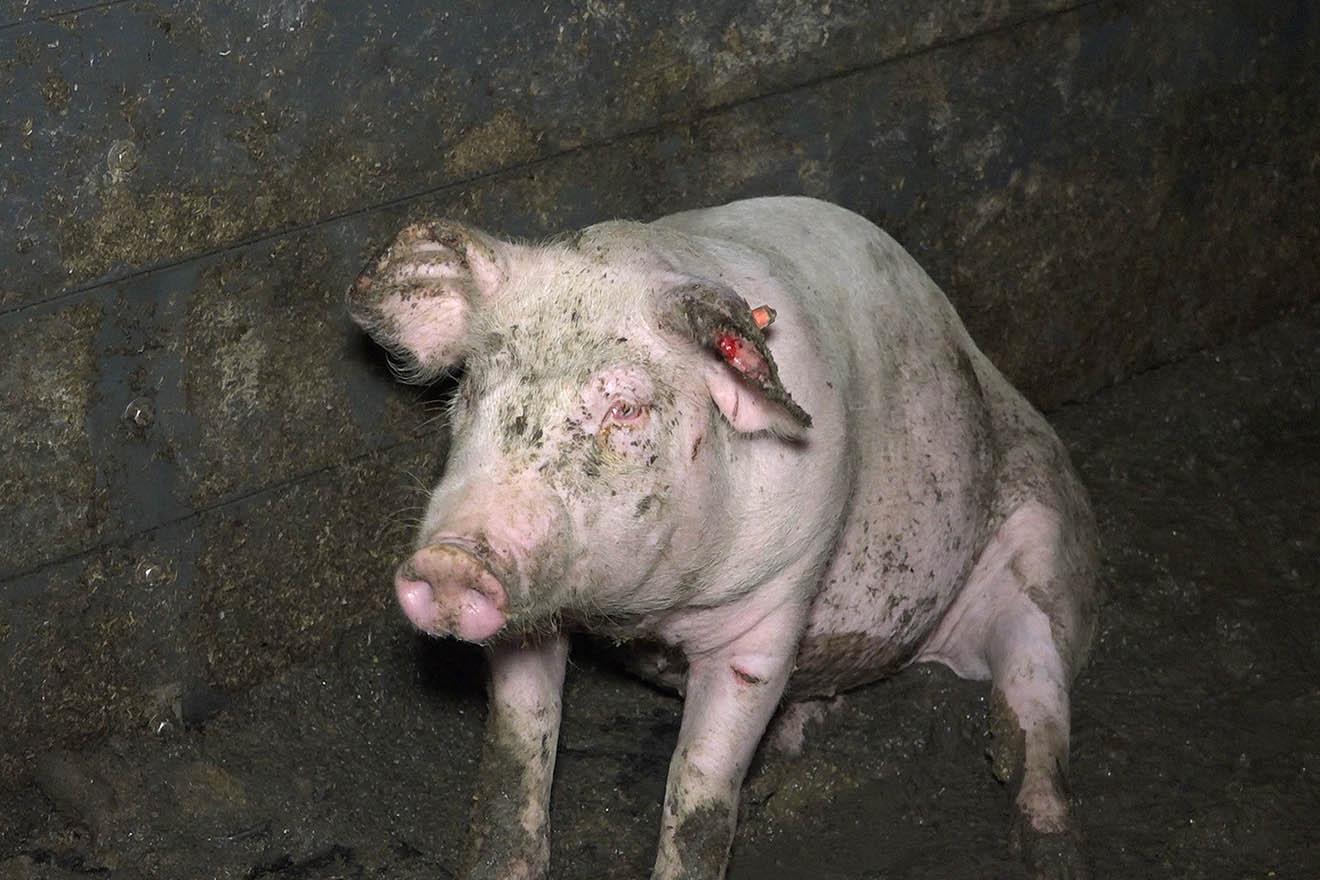 Öko-Test zeigt: Fleisch vom Metzger ebenfalls aus Tierqual-Haltung