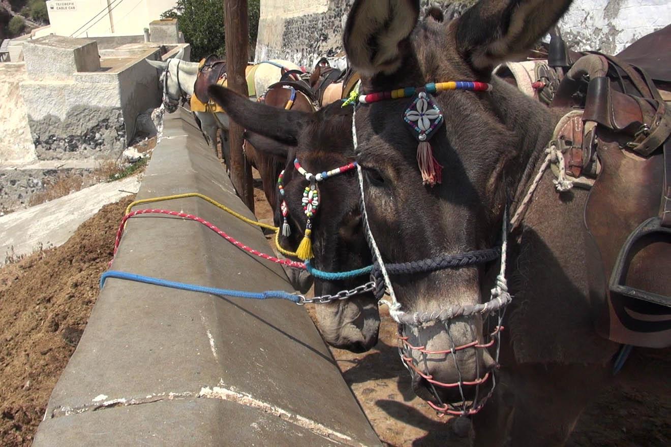 Diese Autoren setzen sich für Esel und Maultiere auf Santorin ein