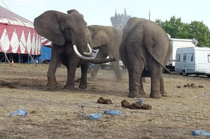 Elefanten vom Circus Afrika