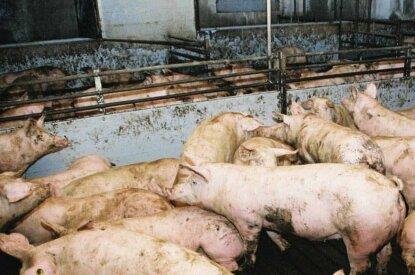 Schweinemastbetrieb