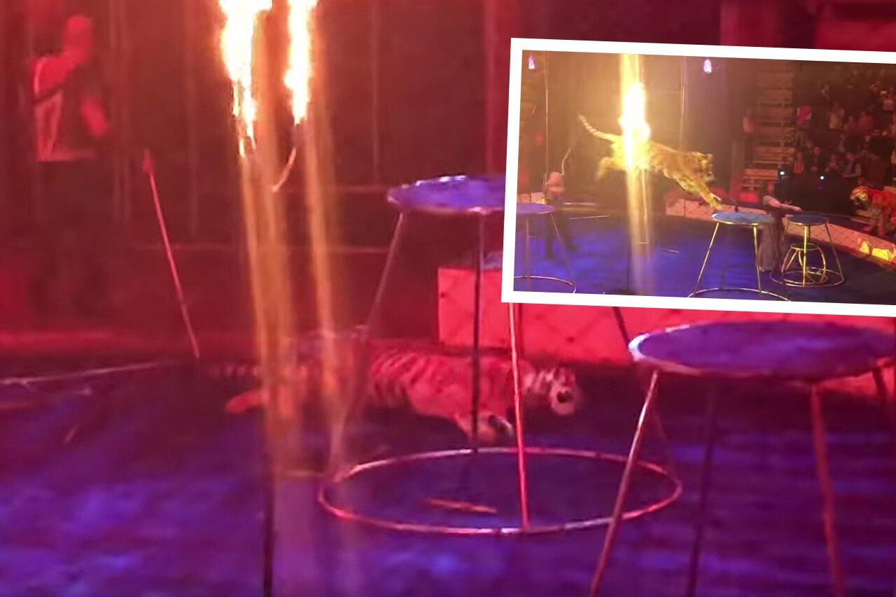 SCHOCK-VIDEO: Tiger springt durch Feuerring und bleibt leblos liegen